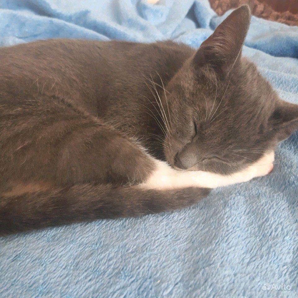 Кот от русского голубого и беспородной в Смоленске - фотография № 2