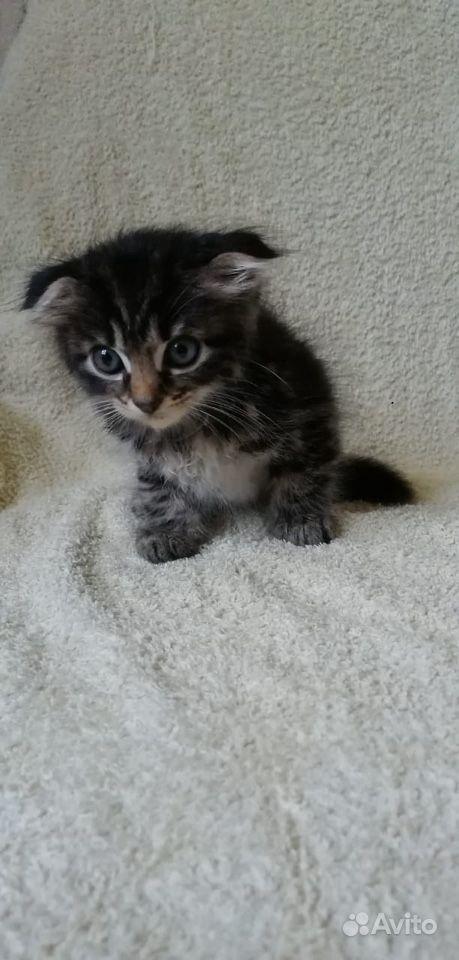 Вислоухие котятки девочки