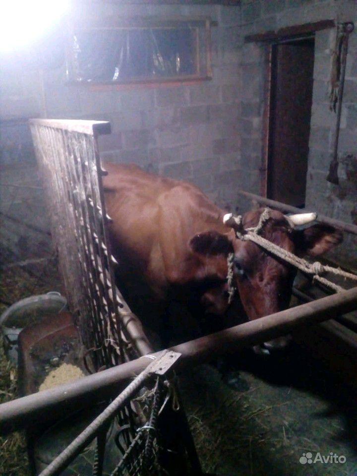 Корова после 2 отелов