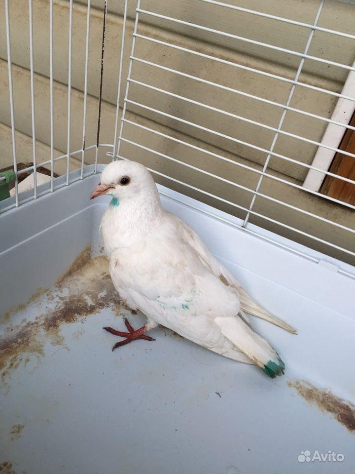 Найден голубь