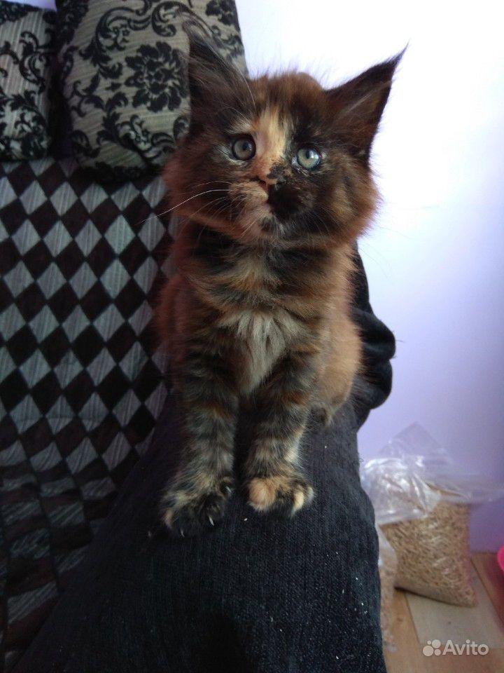 Кошечка мейн кун возраст 2 месяца