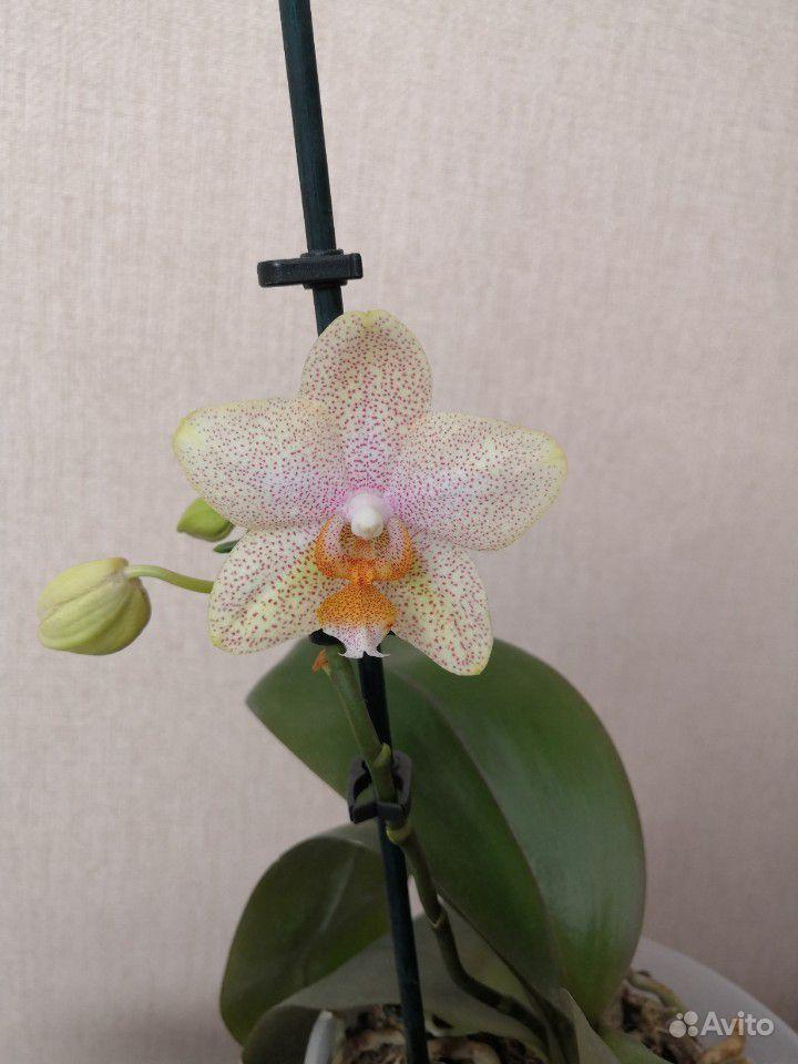 Редкая орхидея купить на Зозу.ру - фотография № 2