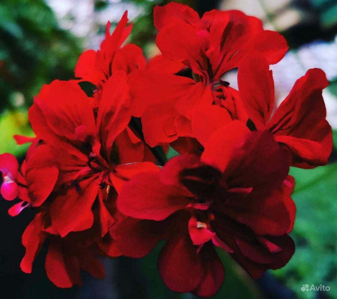 Цветы. Герань плющелистная, ампельная купить на Зозу.ру - фотография № 4