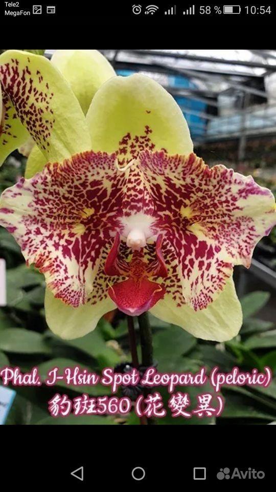 Орхидея купить на Зозу.ру - фотография № 1