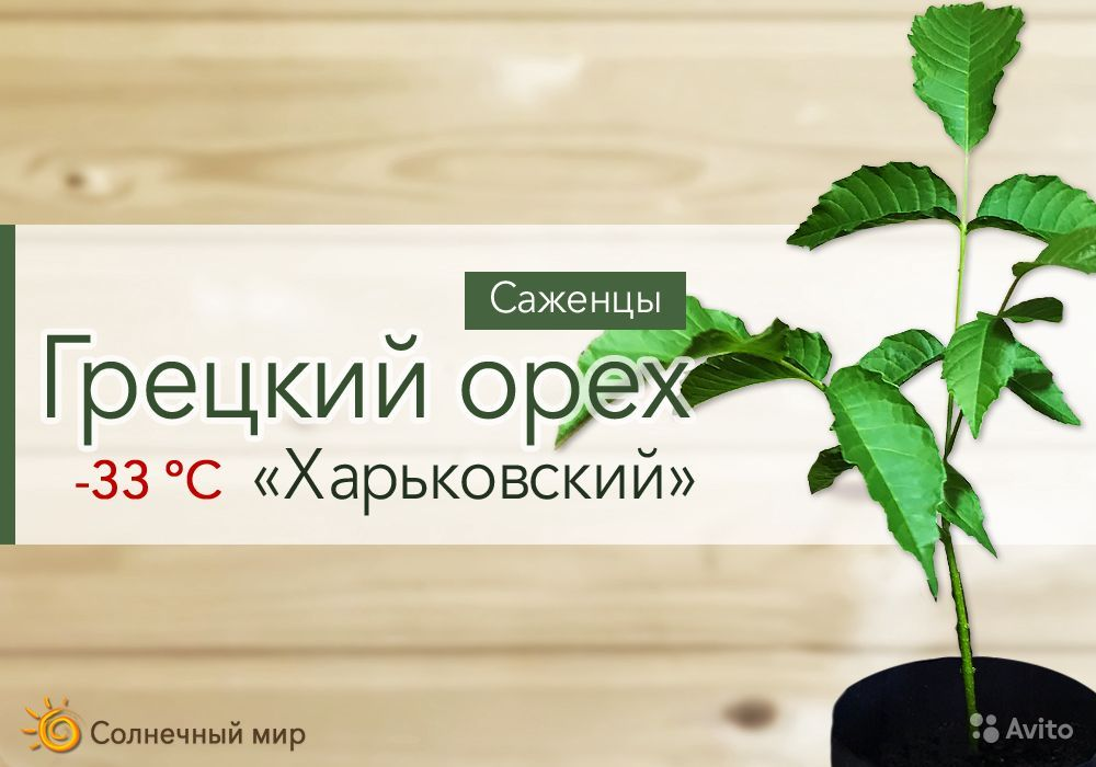 Грецкий орех тонкокорый саженцы с зкс купить на Зозу.ру - фотография № 1