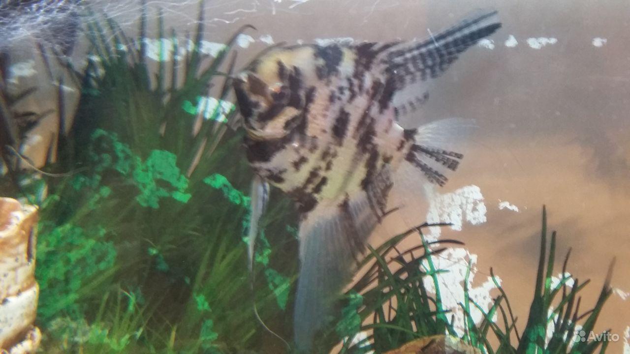 Рыбка Скалярия отдам купить на Зозу.ру - фотография № 3