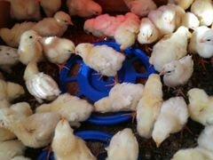 Цыплята бройлеры рос 308