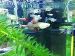 Рыбки гуппи мальки