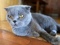 Шотландская вислоухая кошка голубого окраса
