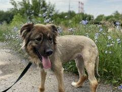 Красивая собака Шерри из приюта в дар