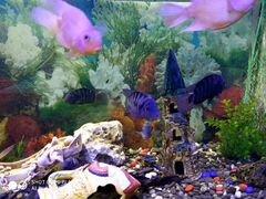 Рыба чернополосая цихлозома цихлида