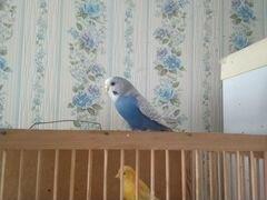 Девочка попугай волнистый