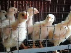 Цыпленок кооб 500
