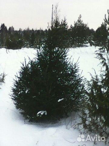 Объявления куплю живые елки оптом по удмуртии работа в крекшино свежие вакансии грузчик