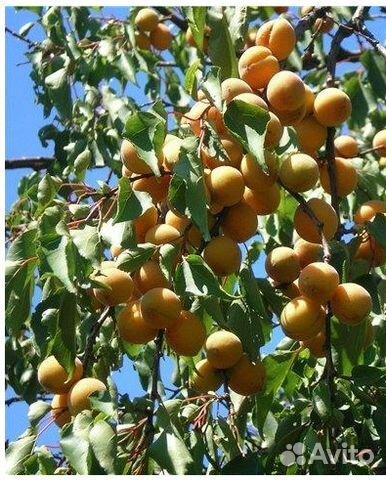 Семена плодовых деревьев и кустарников