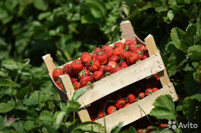 Grow strawberries reliable dividends all year round