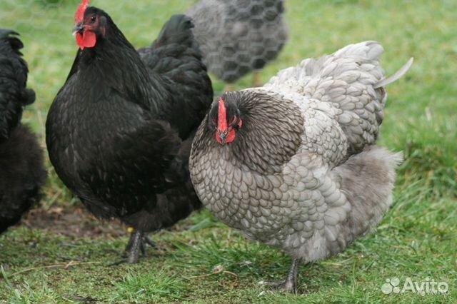 Ägg inkubation, kyckling