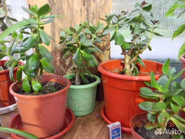 Толстянка (денежное дерево) 89615422677 купить 2