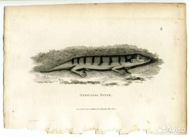 Старинная гравюра 1802 г амфибии сцинк антиквариат  купить 1