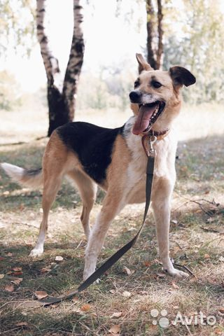 Молодая и добрая собака в дар купить на Зозу.ру - фотография № 1
