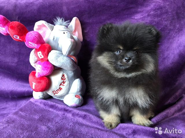 Шпицы, очень милые малыши, мишки купить на Зозу.ру - фотография № 3
