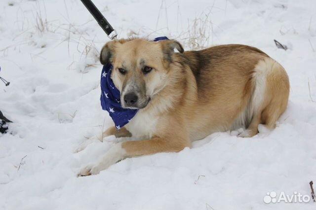 Добрый и внимательный пёс Лари ищет семью купить на Зозу.ру - фотография № 3