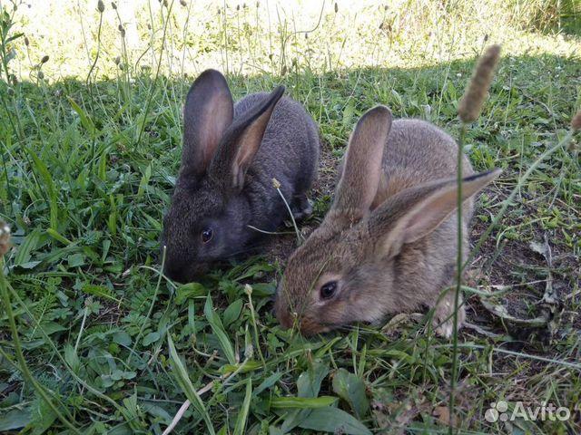 Кролики серые великаны