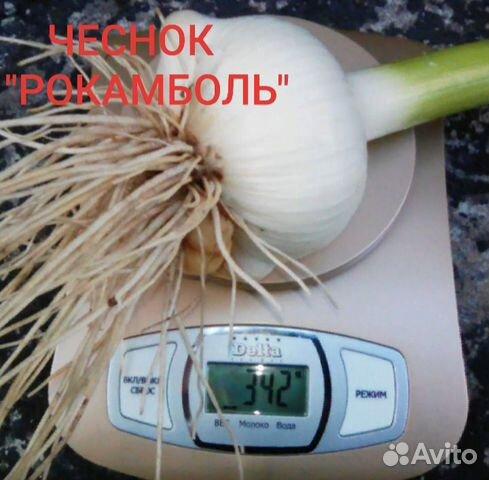 Чеснок рокамболь слоновий чеснок и картофель семян  89304200228 купить 1