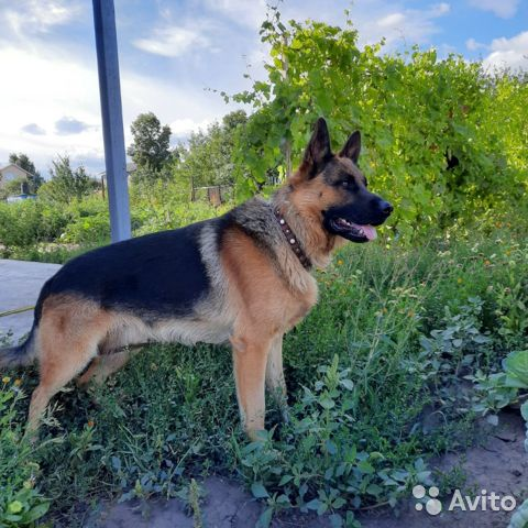 German shepherd  buy 6
