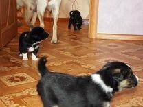 Дарю щенков