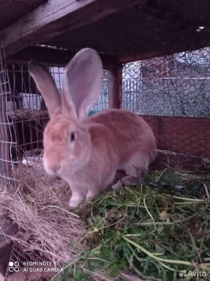 Кролик  89137405868 купить 6