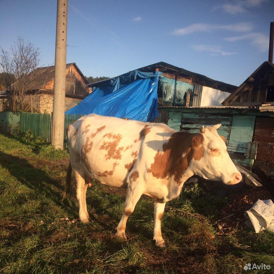 Корова  89133204774 купить 5