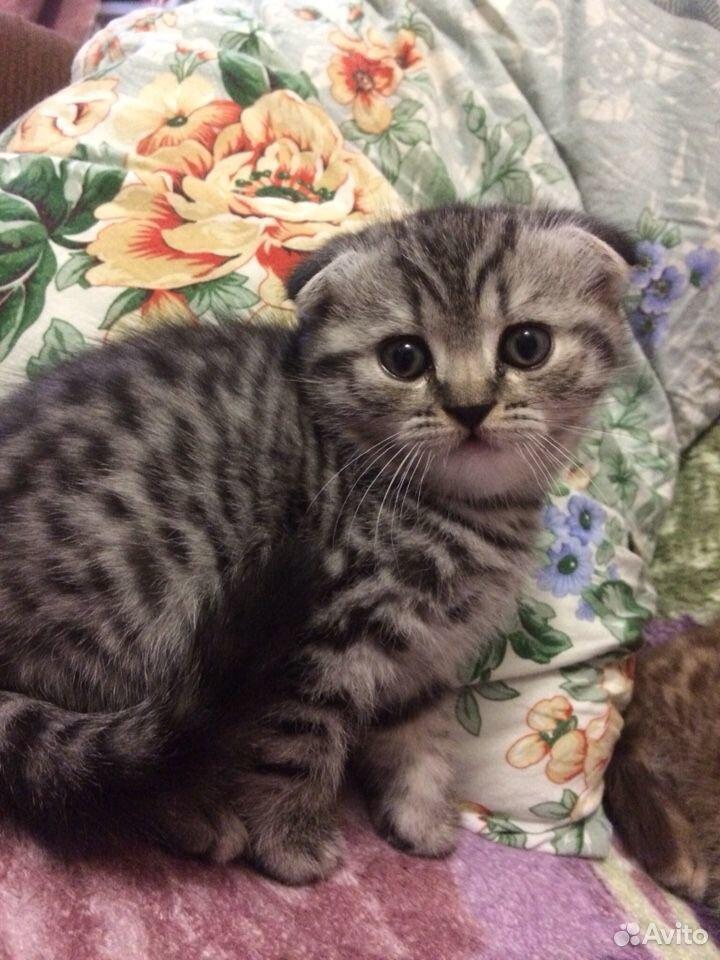 Scottish kittens  89081189556 buy 3
