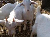 Пятерых 1,5 месячных козлят