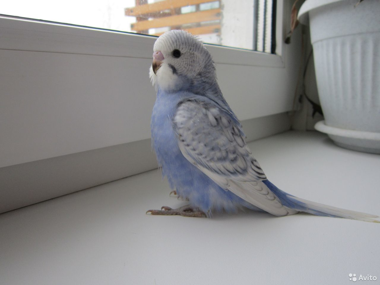Птенцы волнистых попугаев  89082840161 купить 1