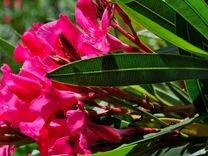 Олеандры в цвету в горшках в Выксе