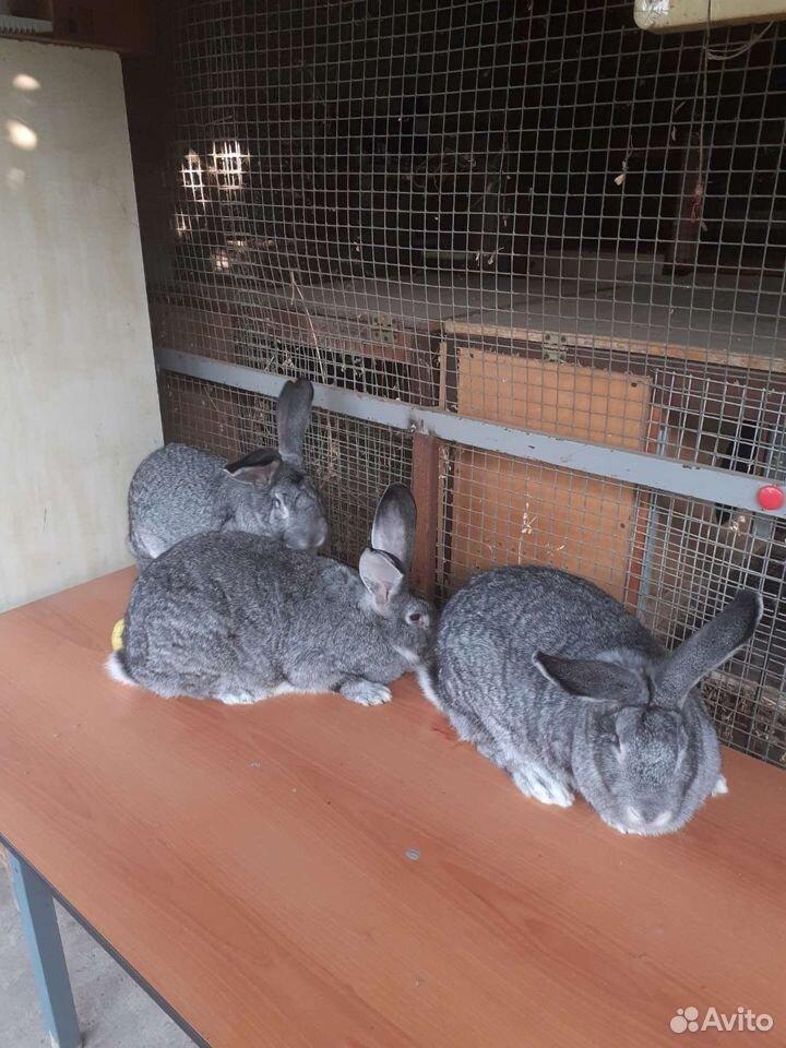 Кролики  89614994002 купить 2