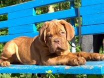 Бордоский дог. Очень красивые и породные щенки