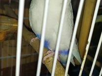Самец 6 месяцев — Птицы в Москве
