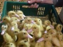 Молодняк с.х птицы продается