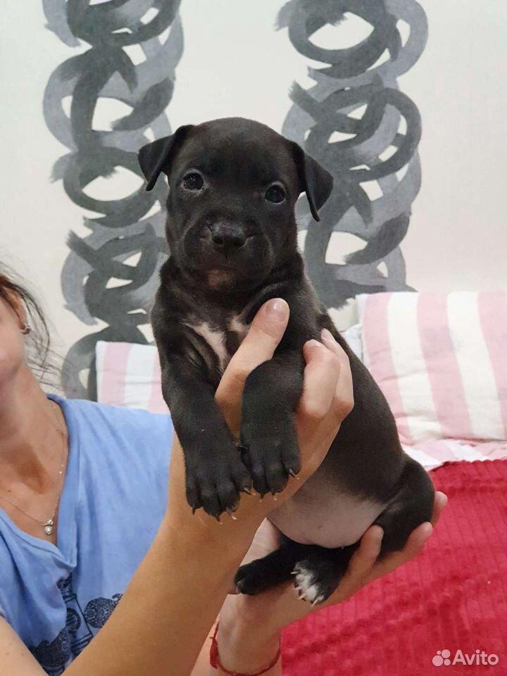Собака  89121168563 купить 4