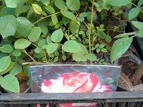 Рассада розы