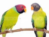 Продам ожереловых сливоголовых попугаев